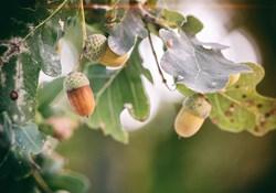 denny-muller-oak tree-unsplash